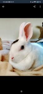 Dwarf rabbit 11yrs
