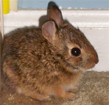 Profile picture of Cottontail