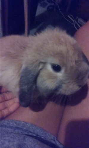 BinkyBunny | Is sparse/Grey ear fur normal for 2 mo  Holland